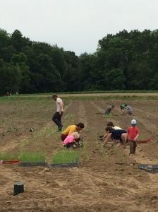 planting allium