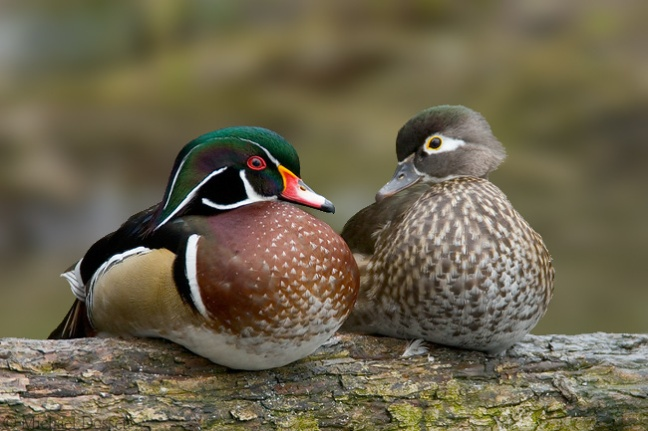 woodducks.jpg
